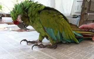 У попугайчика понос что делать