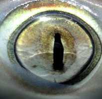 Какое зрение у акул