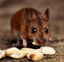 Ласка ест мышей
