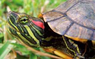 Красноухие черепахи маленькие уход и содержание