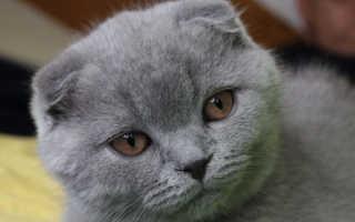 Черепаховый окрас шотландских кошек фото