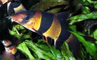 Рыбка боция клоун в аквариуме содержание
