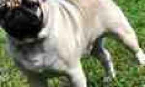 Купить щенка мопса в питомнике