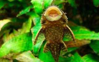 Аквариумные рыбки присоски
