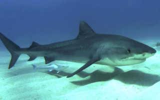 Картинки тигровой акулы
