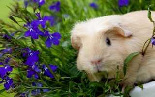 Можно ли морским свинкам шпинат