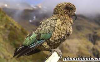 Кеа попугай фото