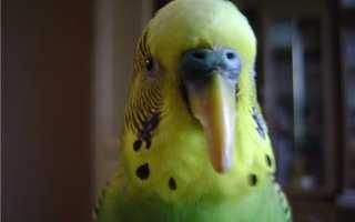 Как правильно подстричь клюв волнистому попугаю