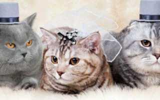 Вязка британской вислоухой кошки