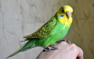 Клещ у попугая фото и лечение