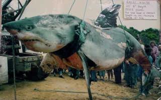 Самая крупная белая акула