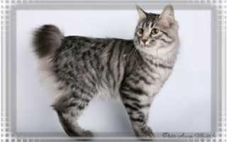 Бобтейл кошка хвост