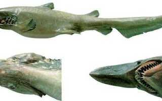 Глубоководная акула фото