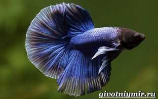 Рыба петушок особенности
