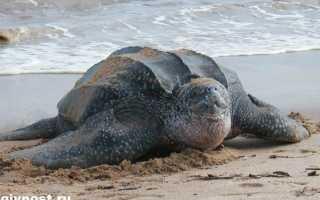 Кожистая черепаха 3 буквы сканворд