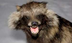 Опасна ли енотовидная собака для человека