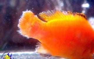 Болезнь плавников у аквариумных рыб
