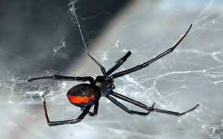 Черная вдова паук самец и самка