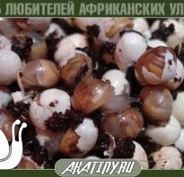 Чем кормить улитят ахатины