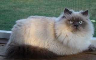 Породы кошек с сиамским окрасом