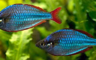 Неоновая радужница аквариумная рыбка