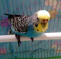 Коричневая восковица у самца волнистого попугая