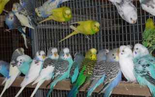 Как выбрать молодого волнистого попугая мальчика