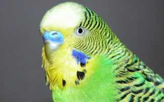 Сколько стоит живой волнистый попугай