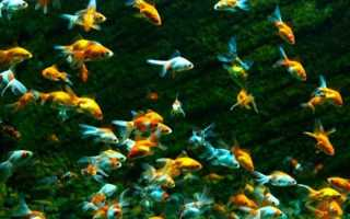 Домашние рыбы в аквариуме