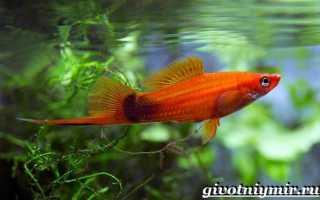 Рыбка меченосец описание