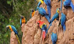 Попугаи которые разговаривают цена