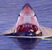 Белая акула ест человека