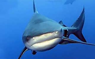 Бычья тупорылая акула