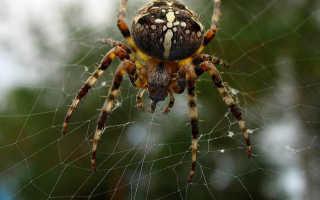 Чем дышит паук крестовик