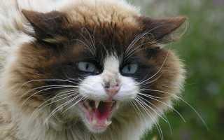 Кот рычит на кошку при вязке