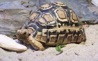 К какому семейству относится черепаха