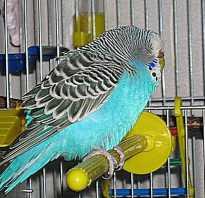 Волнистый попугай почти не двигается