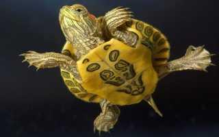 Красноухие черепахи уход и содержание
