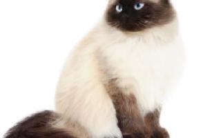 Гималайская кошка колор пойнт