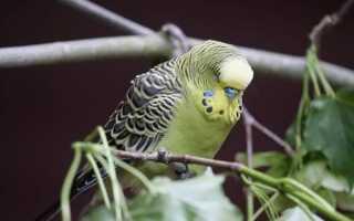 Возраст волнистого попугайчика