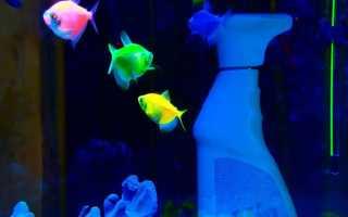Тернеция аквариумная рыбка содержание и разведение