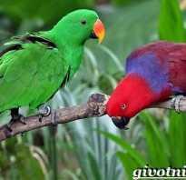 Эклектус попугай отзывы