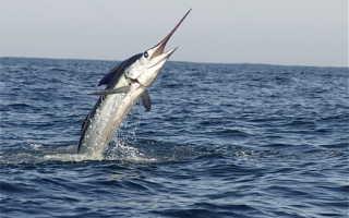 Акула меч фото