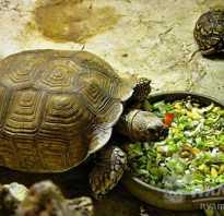 Сухопутная черепаха в домашних условиях отзывы