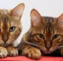 Порода кошек черно белого окраса пушистые