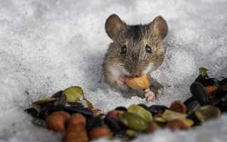 Мыши полевки зимой