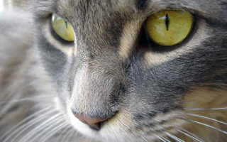 Как далеко видят кошки