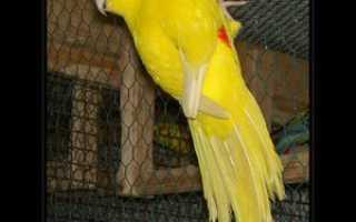 Попугай какарик отзывы владельцев