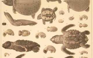 Черепахи вид класс