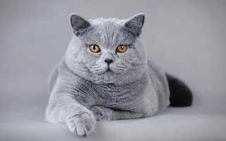 Порода кошек бежевого окраса